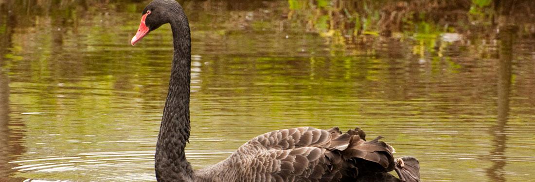 Birds-Black-Swan