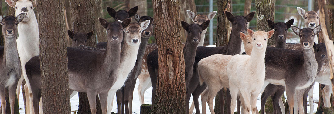 Hoofed-Animal--Fallow-Deer