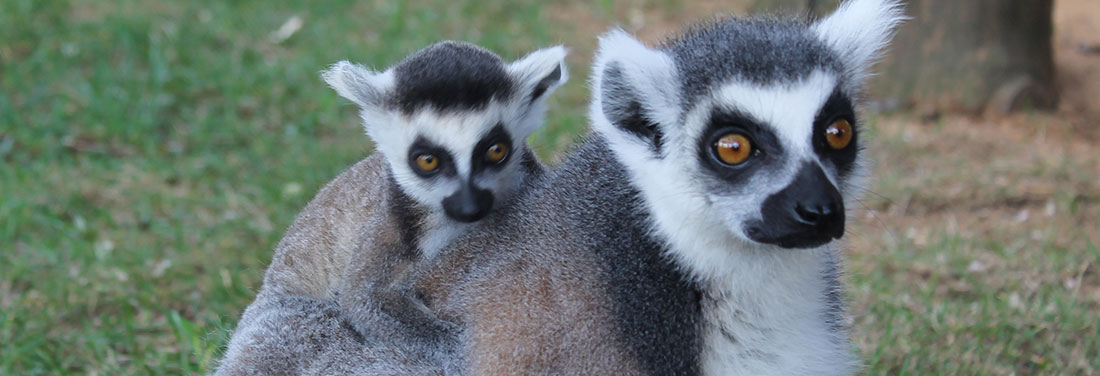 Monkeys--Ringtail--Lemur