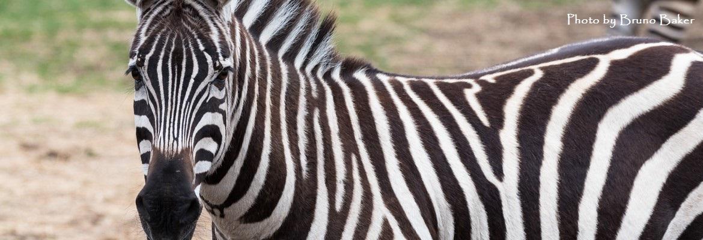 zebra-slide